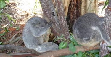 Koalas surpris en pleine sieste - Australie