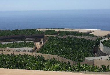 Bananeraie - Tenerife - Iles Canaries